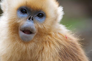 Golden snub-nosed monkey (Rhinopithecus roxellana qinlingensis) subadult portrait, Zhouzhi Nature Reserve, Qinling mountains, Shaanxi, China, April 2006  -  Florian Möllers