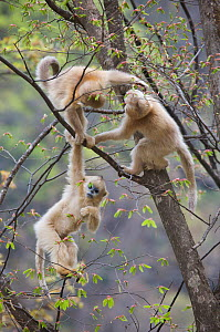 Golden snub-nosed monkey (Rhinopithecus roxellana qinlingensis) three infants playing in a tree, Zhouzhi Nature Reserve, Qinling mountains, Shaanxi, China, April 2006  -  Florian Möllers