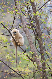 Golden snub-nosed monkey (Rhinopithecus roxellana qinlingensis) infant resting in a tree, Zhouzhi Nature Reserve, Qinling mountains, Shaanxi, China, April 2006  -  Florian Möllers