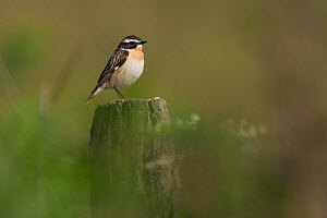 Whinchat (Saxicola rubetra) male perched on fence post, Germany.  -  Florian Möllers