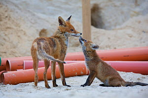 Red fox (Vulpes vulpes) vixen and cubs at a building construction site, Berlin, Germany. May 2006  -  Florian Möllers