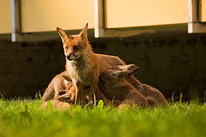 Red fox (Vulpes vulpes) vixen nursing cubs in garden of block of flats, Berlin, Germany. May 2006  -  Florian Möllers