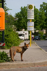 Red fox (Vulpes vulpes) young male waiting near bus stop, Thuner Platz, Berlin, Germany, May 2006  -  Florian Möllers