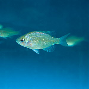 A young Bluegill Sunfish (Lepomis macrochirus) swimming. This species is used as an indicator in experiments used to register chemicals for safety in the environment. - Nigel Cattlin