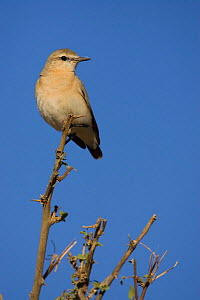 Isabelline Wheatear (Oenanthe isabellina) a threatened species, Russia to Africa. - Visuals Unlimited