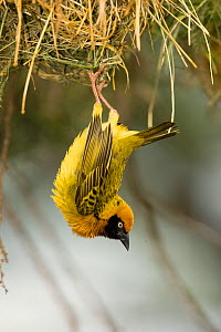 Speke's Masked Weaver (Ploceus spekei) hanging from its nest, Africa, November  -  Visuals Unlimited