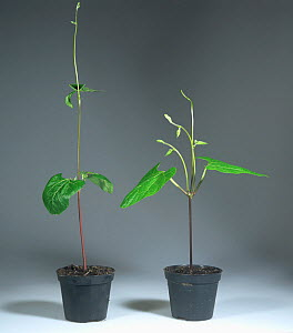 Apical dominance, comparing two runner bean plants where one has had the growing point removed. - Visuals Unlimited