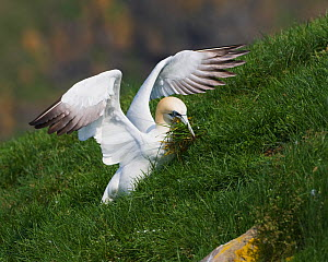 Northern Gannet (Morus bassanus) gathering nesting material in its bill on the side of a hill, USA, July  -  Visuals Unlimited
