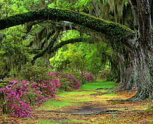 Stately Live Oaks (Quercus virginiana) and blooming Azaleas, Magnolia Plantation, Charleston, South Carolina, USA. Note the draping Spanish Moss and the epiphytic ferns on the tree trunks  -  Visuals Unlimited