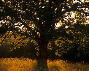 White Oak (Quercus alba) tree silhouetted at twilight, Cades Cove, Great Smoky Mountains National Park, Tennessee, USA.  -  Visuals Unlimited