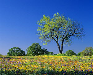 Mesquite tree among Low Bladderpod, Paintbrush, and Bluebonnet spring wildflowers, Hill Country, Texas, USA. - Visuals Unlimited