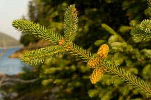 Sitka Spruce (Picea sitchensis) cones and needles, Prince William Sound, Chugach National Forest, Alaska, USA, July - Visuals Unlimited