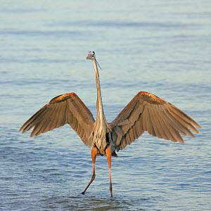 Great Blue Heron (Ardea herodias) wading in water with its wings spread, Sanibel, Florida, USA.  -  Visuals Unlimited