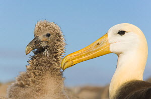 Waved Albatross (Diomedea irrorata) chick and mother, Hood Island, Galapagos, Critically endangered  -  Visuals Unlimited