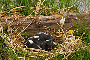 Striped Skunk (Mephitis mephitis) babies in their nest, North America.  -  Visuals Unlimited