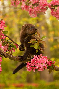 Fisher (Martes pennanti) juvenile in a flowering tree, North America.  -  Visuals Unlimited