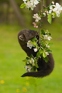 Fisher (Martes pennanti) juvenile hanging from a flowering tree branch, North America.  -  Visuals Unlimited