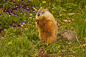 Woodchuck / Groundhog (Marmota monax) feeding on a Dandelion, Eastern North America.  -  Visuals Unlimited