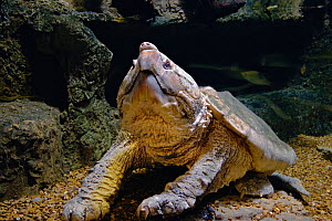 Alligator Snapping Turtle (Macroclemys temminckii) Captive  -  Visuals Unlimited