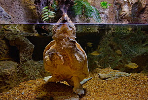 Alligator Snapping Turtle ( Macroclemys temminckii), captive, Newport Aquarium, Newport, Kentucky, USA.  -  Visuals Unlimited