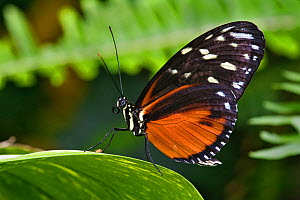 tiger longwing / Golden Helicon butterfly (Heliconius hecale)  -  Visuals Unlimited