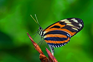 Tiger butterfly (Heliconius ismenius) White River Gardens, Indianapolis, Indiana, USA  -  Visuals Unlimited