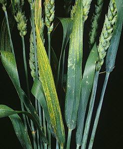 Chloris and striping on Wheat leaves (Triticum aestivum) are symptoms of magnesium deficiency (Mg). - Nigel Cattlin