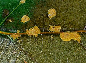Algal Spot (Cephaleuros virescens) caused by a pathogenic algae on an Avocado leaf (Persea americana). - Nigel Cattlin