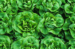 Mature lettuce crop (Lactuca sativa) variety cabbage in a hydroponic glasshouse, Hertfordshire, UK  -  Nigel Cattlin