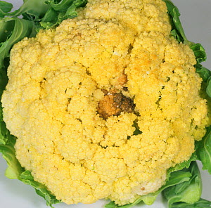 Dark spot in Cauliflower caused by boron (B) deficiency (Brassica oleracea).  -  Nigel Cattlin