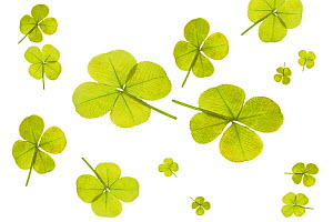 Four leaf clover.  -  Visuals Unlimited