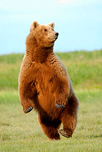 Brown Bear (Ursus arctos) standing, running, jumping  -  Visuals Unlimited