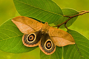 Saturniid Moth (Leucanella lynx) adult male showing its eyespots on its wings. Ecuador.  -  Visuals Unlimited