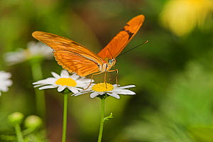 Julia Butterfly (Dryas iulia) sipping nectar from a Daisy in southern Arizona, USA.  -  Visuals Unlimited