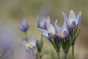 Pasque Flowers / Wild crocus (Pulsatilla patens) the first wildflower seen in the Colorado Rockies, USA  -  Visuals Unlimited