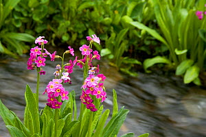 Parry Primrose (Primula parryi) decorating the bank of an outlet stream of Clear Lake in an alpine area of the San Juan Mountains of Colorado, USA. - Visuals Unlimited