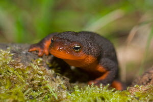 Rough-skinned Newt (Taricha granulosa) head-on view, Van Damme State Park, Northern California Coast, USA. - Visuals Unlimited
