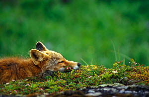 Red fox (Vulpes vulpes) resting  -  Visuals Unlimited