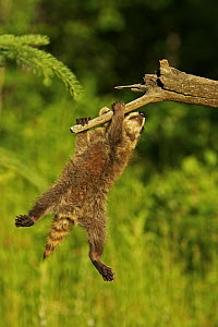 Common Raccoon (Procyon lotor) juvenile hangingl from branch, USA - Visuals Unlimited