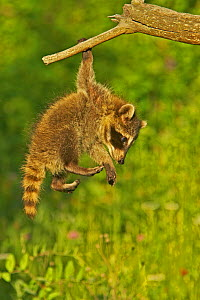 Common Raccoon (Procyon lotor) juvenile hanging from branch, USA  -  Visuals Unlimited