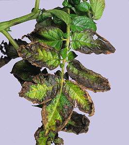 Potassium (K) deficiency symptom on Potato leaves (Solanum tuberosum).  -  Nigel Cattlin