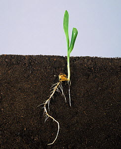 Maize / corn (Zea mays) seedling with two leaves and roots, growth stage 12. - Nigel Cattlin
