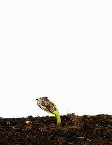 Sunflower (Helianthus annuus) seedling germinating, Sequence 2/7  -  Nigel Cattlin