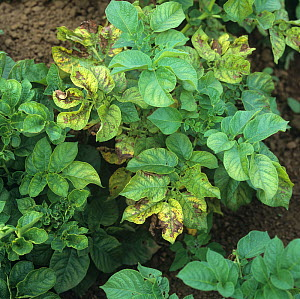 Magnesium deficiency symptoms on some Potato leaves (Solanum tuberosum).  -  Nigel Cattlin