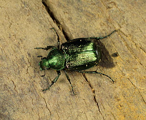 Chafer Beetle (Gnorimus nobilis), a rare and vulnerable species in the UK. - Nigel Cattlin