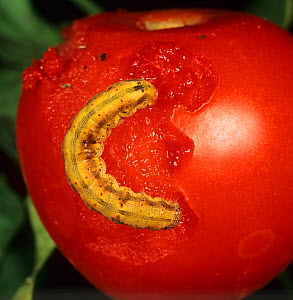 Tomato Fruitworm (Helicoverpa armigera) on a damaged Tomato fruit (Lycopersicon esculentum). Portugal.  -  Nigel Cattlin