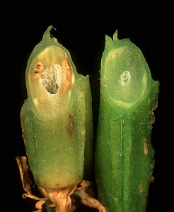 Wilt (Verticillium albo-atrum) affecting one Potato stem compared with a healthy plant stem (Solanum tuberosum). - Nigel Cattlin