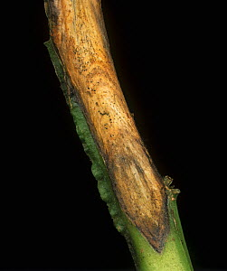 White Mould (Sclerotinia sclerotiorum) lesion on a Potato stem (Solanum tuberosum). Scotland, UK. - Nigel Cattlin