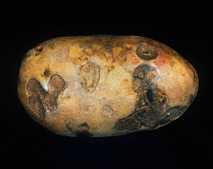 Gangrene (Phoma exigua var foveata) external symptoms on a diseased Potato tuber (Solanum tuberosum). - Nigel Cattlin