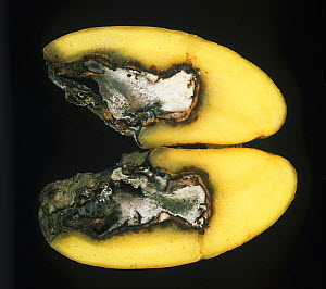 Gangrene (Phoma exigua var foveata) lesion, cavity, and white mycelium in a sectioned Potato tuber (Solanum tuberosum). - Nigel Cattlin